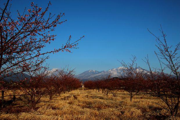 29,4,3 雪の連山 河津ザクラ3-1b.jpg