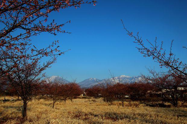 29,4,3 雪の連山 河津ザクラ3-5b.jpg