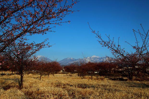 29,4,3 雪の連山 河津ザクラ3-6b.jpg