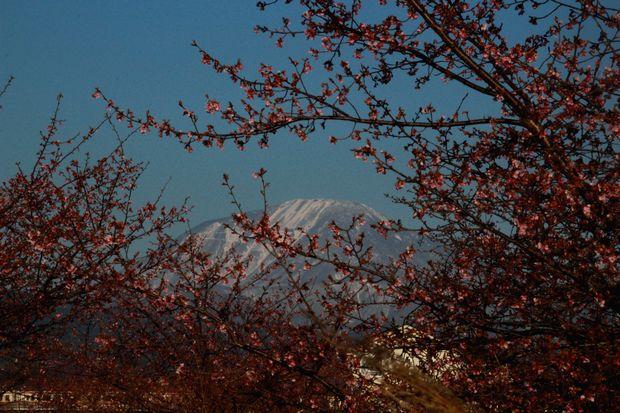 29,4,3 雪の連山 河津ザクラ4-2b.jpg