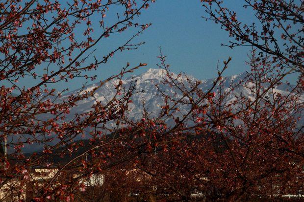 29,4,3 雪の連山 河津ザクラ4-3b.jpg