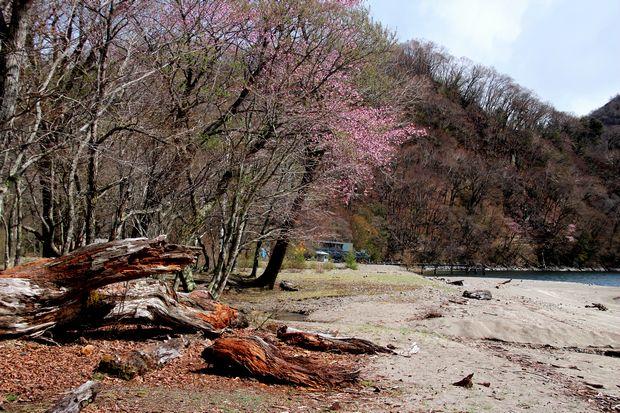29,5,14千手ヶ浜が浜の芽ぶき2-9b.jpg