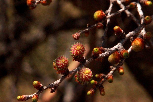 29,5,4 カラマツの芽ぶき1-7b.jpg
