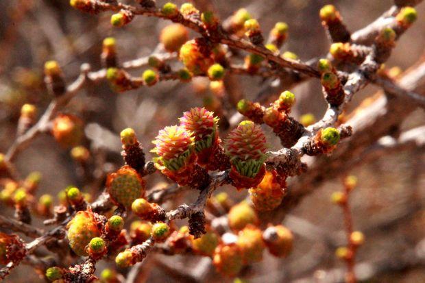 29,5,4 カラマツの芽ぶき1-8b.jpg
