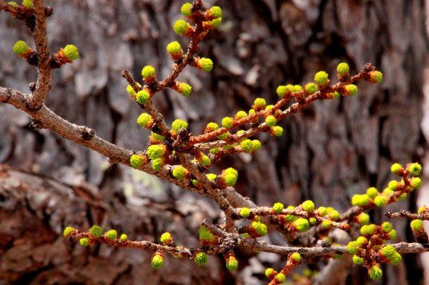 29,5,4 カラマツの芽ぶき2-2b.jpg