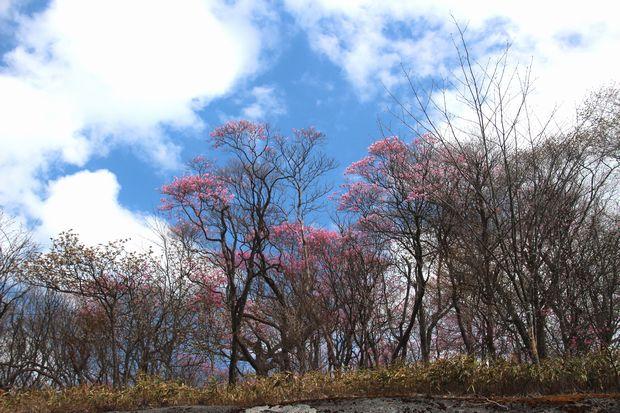 29,5,5 月山のアカヤシオ1-1b.jpg