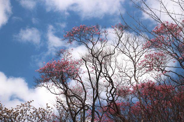 29,5,5 月山のアカヤシオ1-5b.jpg