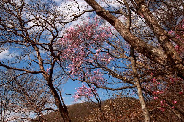 29,5,5 月山のアカヤシオ1-9b.jpg