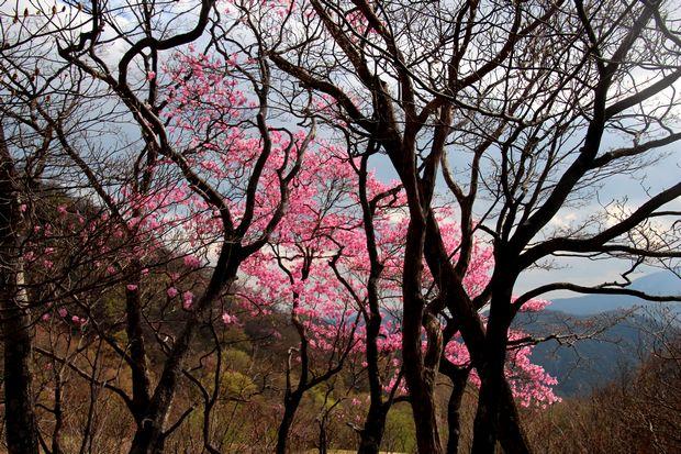 29,5,5 月山のアカヤシオ2-7b.jpg