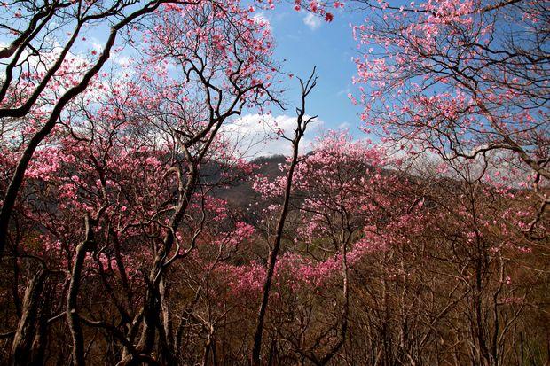 29,5,5 月山のアカヤシオ3-1b.jpg