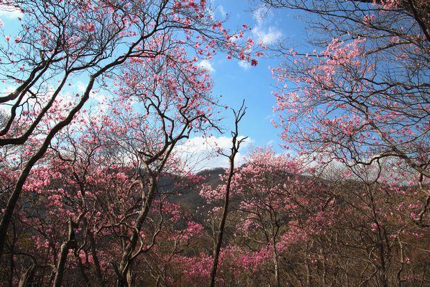 29,5,5 月山のアカヤシオ3-2b.jpg