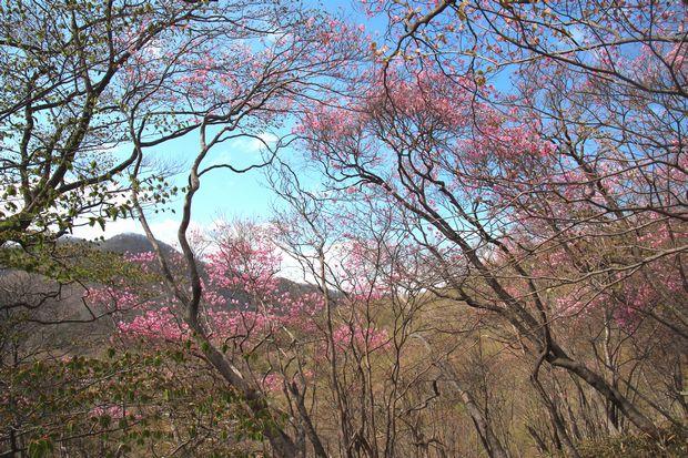 29,5,5 月山のアカヤシオ3-3b.jpg