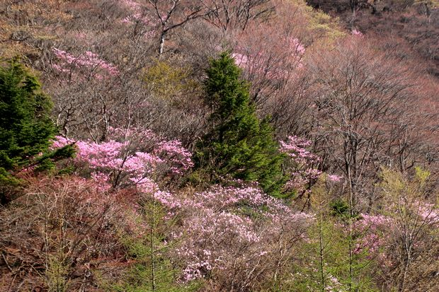 29,5,5 月山のアカヤシオ3-8b.jpg