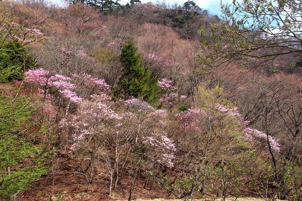 29,5,5 月山のアカヤシオ4-2b.jpg