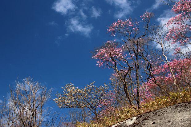 29,5,5 月山のアカヤシオ4-6b.jpg