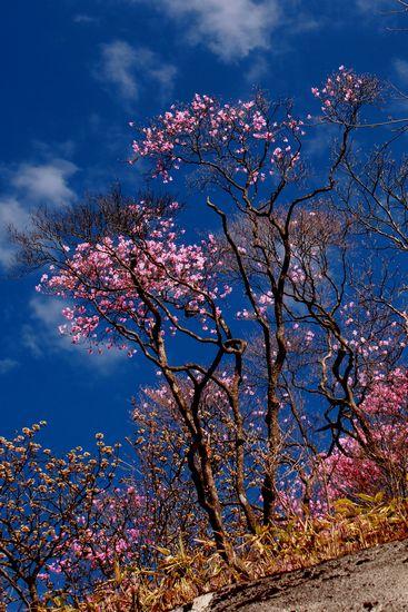 29,5,5 月山のアカヤシオ4-9b.jpg