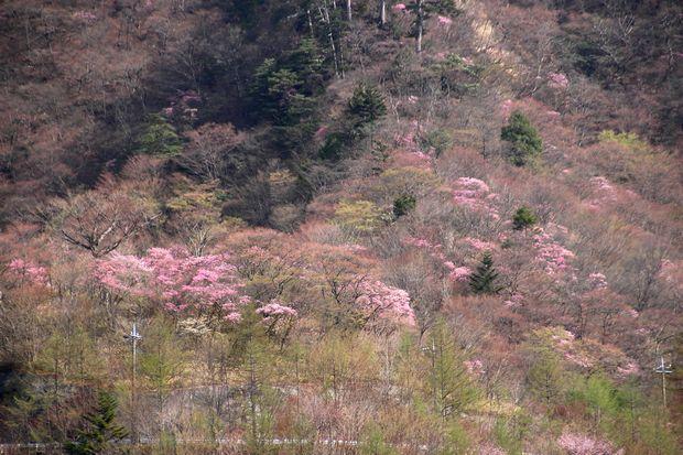 29,5,5 月山のアカヤシオ5-4b.jpg