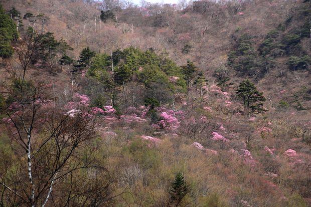 29,5,5 月山のアカヤシオ5-5b.jpg