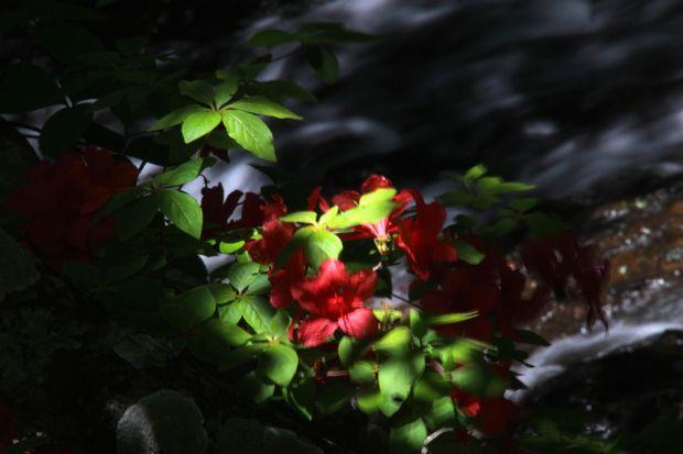 29,6,11 竜頭の滝のヤマツツジ2-3b.jpg