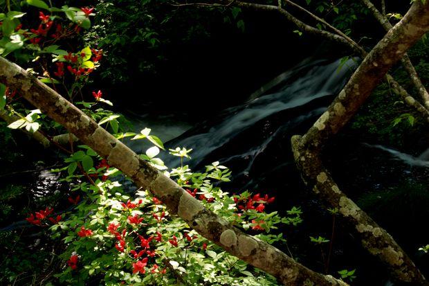 29,6,3 竜頭の滝のミツバツツ1-6b.jpg