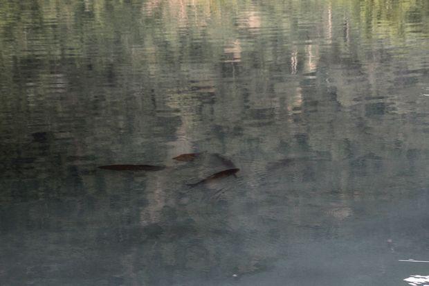29,7,22 湯の湖のコイ 1-1b.jpg
