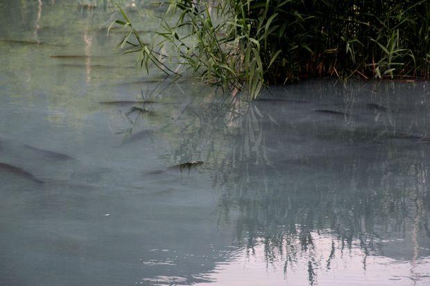 29,7,22 湯の湖のコイ 1-2b.jpg