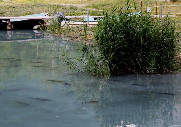 29,7,22 湯の湖のコイ 1-3b.jpg