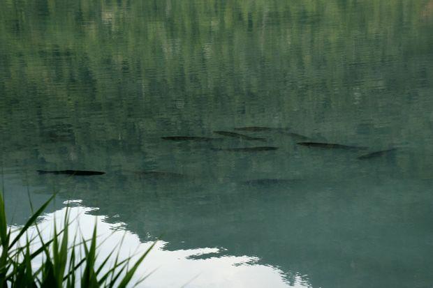 29,7,22 湯の湖のコイ 1-5b.jpg