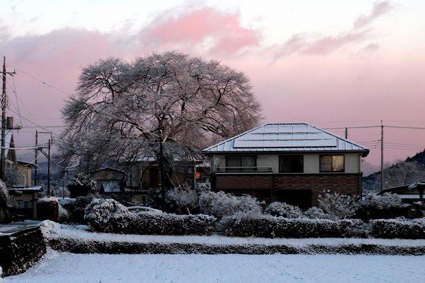 30,1,30冬の枝垂れ桜1-1b.jpg