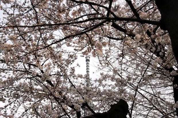 30,3,24隅田公園の桜2-6b.jpg
