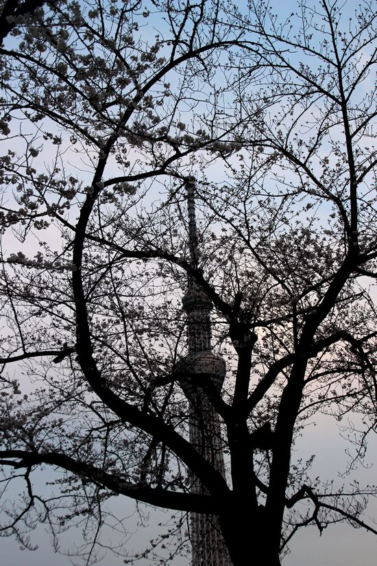 30,3,24隅田公園の桜4-8b.jpg