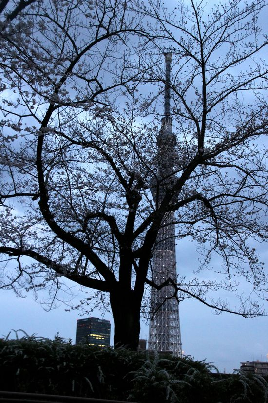 30,3,24隅田公園の桜5-5b.jpg