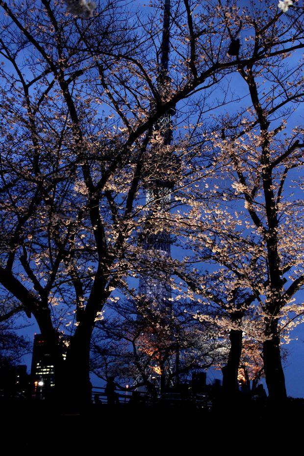 30,3,24隅田公園の桜6-4b.jpg