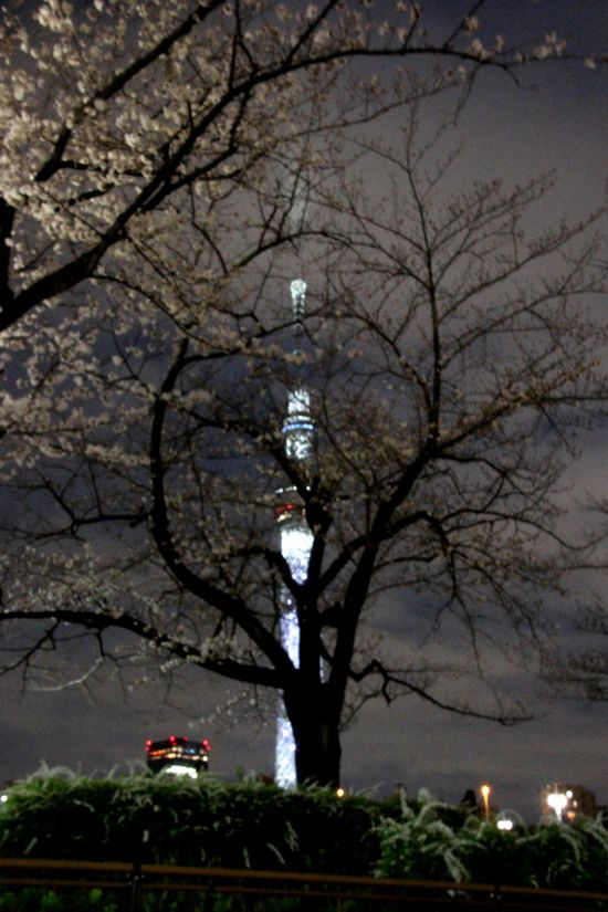 30,3,24隅田公園の桜7-6b.jpg
