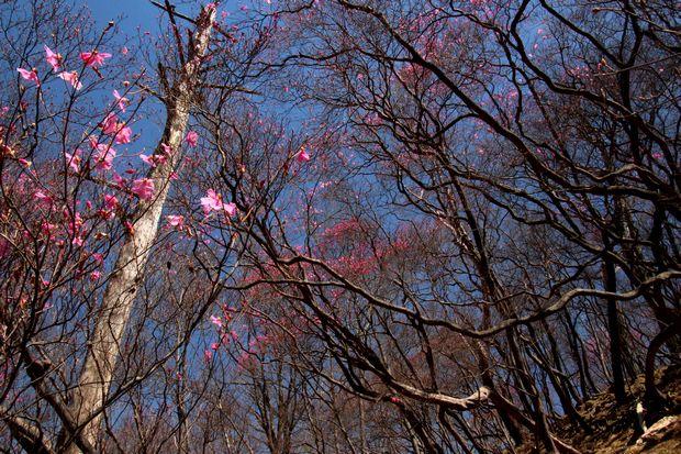 30,4,22花見台のヤシオツツジ1-5b.jpg