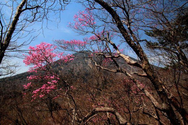 30,4,22花見台のヤシオツツジ2-6b.jpg