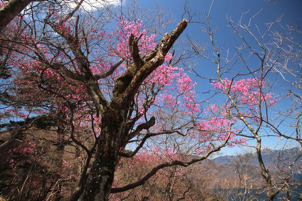 30,4,28 中禅寺湖のヤシオツツジ2-4b.jpg