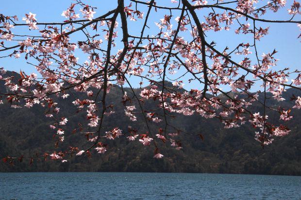 30,4,28 中禅寺湖のヤシオツツジ3-2b.jpg