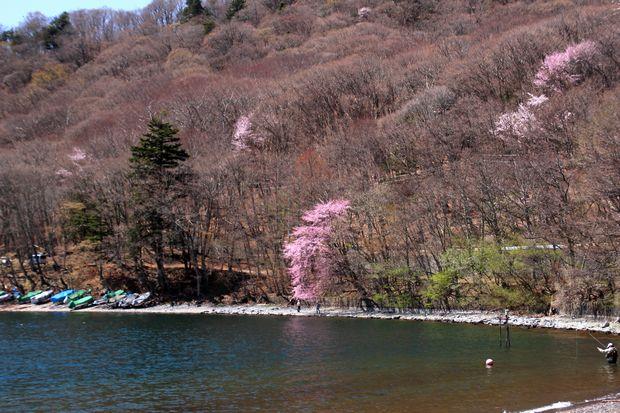 30,4,28 中禅寺湖の桜1-1b.jpg