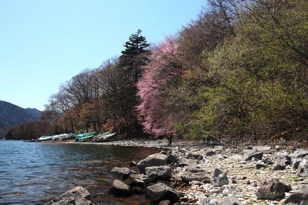 30,4,28 中禅寺湖の桜1-7b.jpg