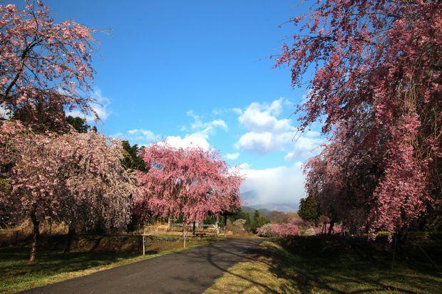 30,4,8 連山と桜1-4b.jpg