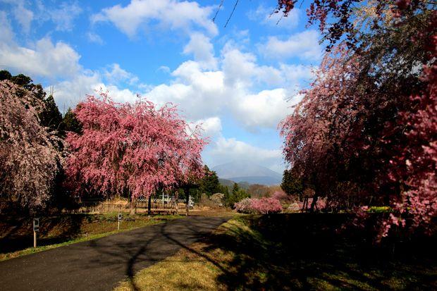 30,4,8 連山と桜1-5b.jpg