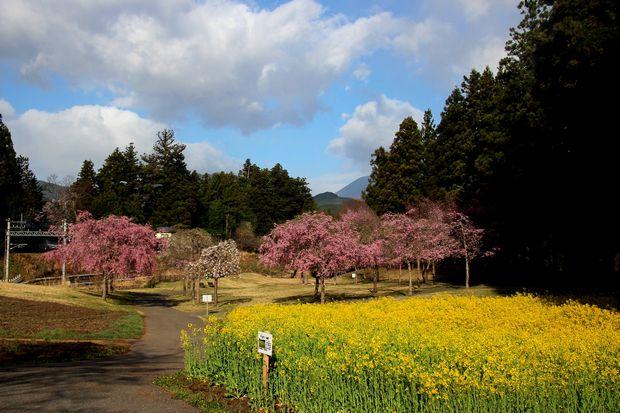 30,4,8桜と菜の花1-1b.jpg