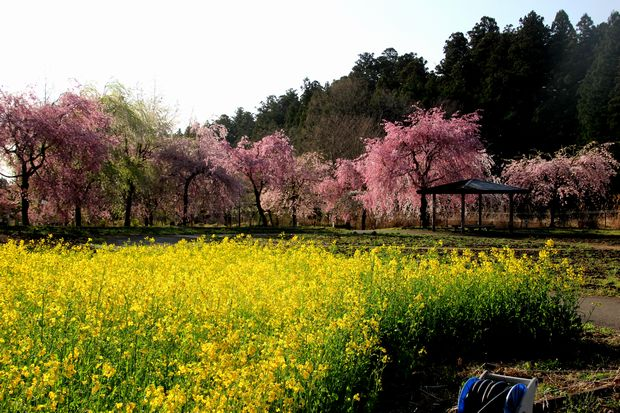 30,4,8桜と菜の花1-2b.jpg