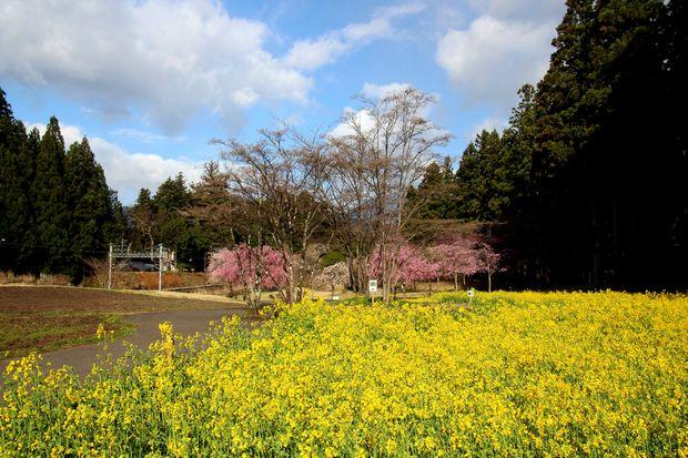 30,4,8桜と菜の花1-5b.jpg