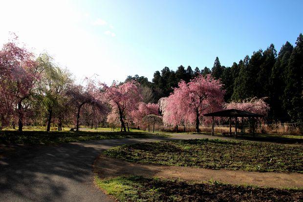 30,4,8桜と菜の花1-7b.jpg