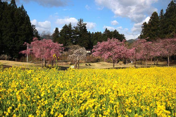 30,4,8桜と菜の花2-7b.jpg