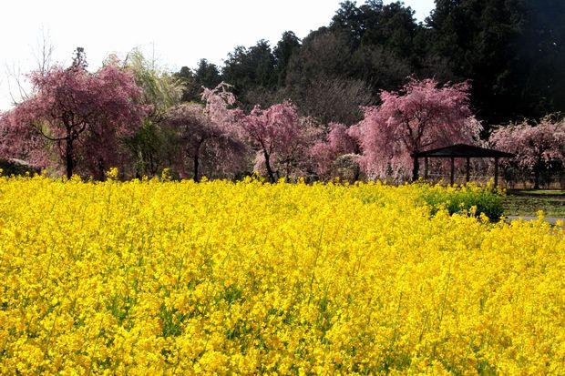 30,4,8桜と菜の花3-1b.jpg