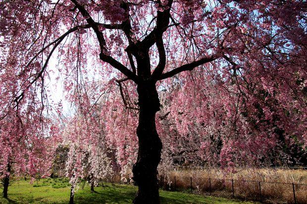 30,4,8桜と菜の花3-6b.jpg