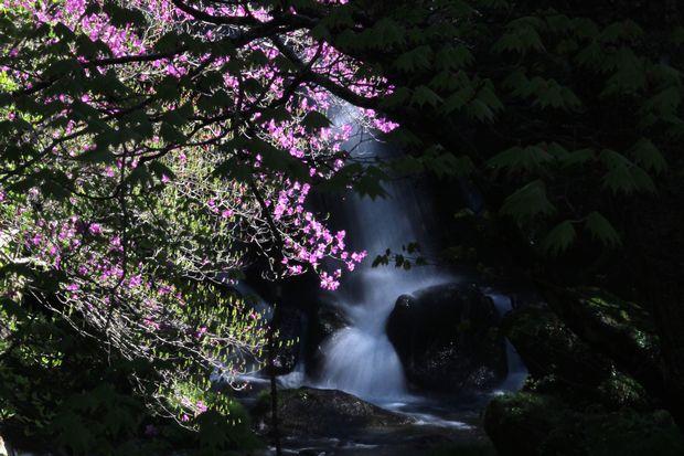 30,5,19竜頭の滝のミツバツツジ1-7b.jpg